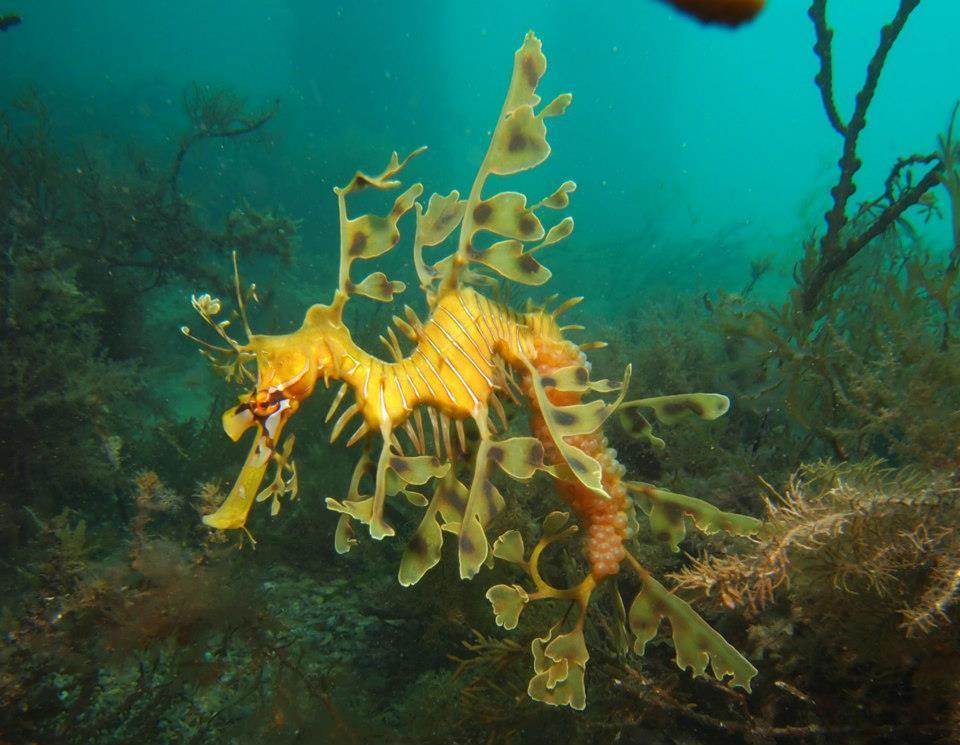 Leafy Sea Dragon Guided Dive Tour Voucher